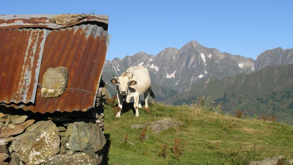 cow at the col of the Serre du Cau